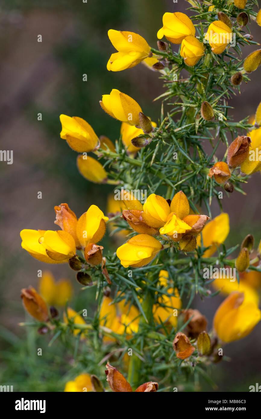 Fiori Gialli Campagna.Il Luminoso Fiori Gialli Di Ginestre Bush In Primavera Fiori E