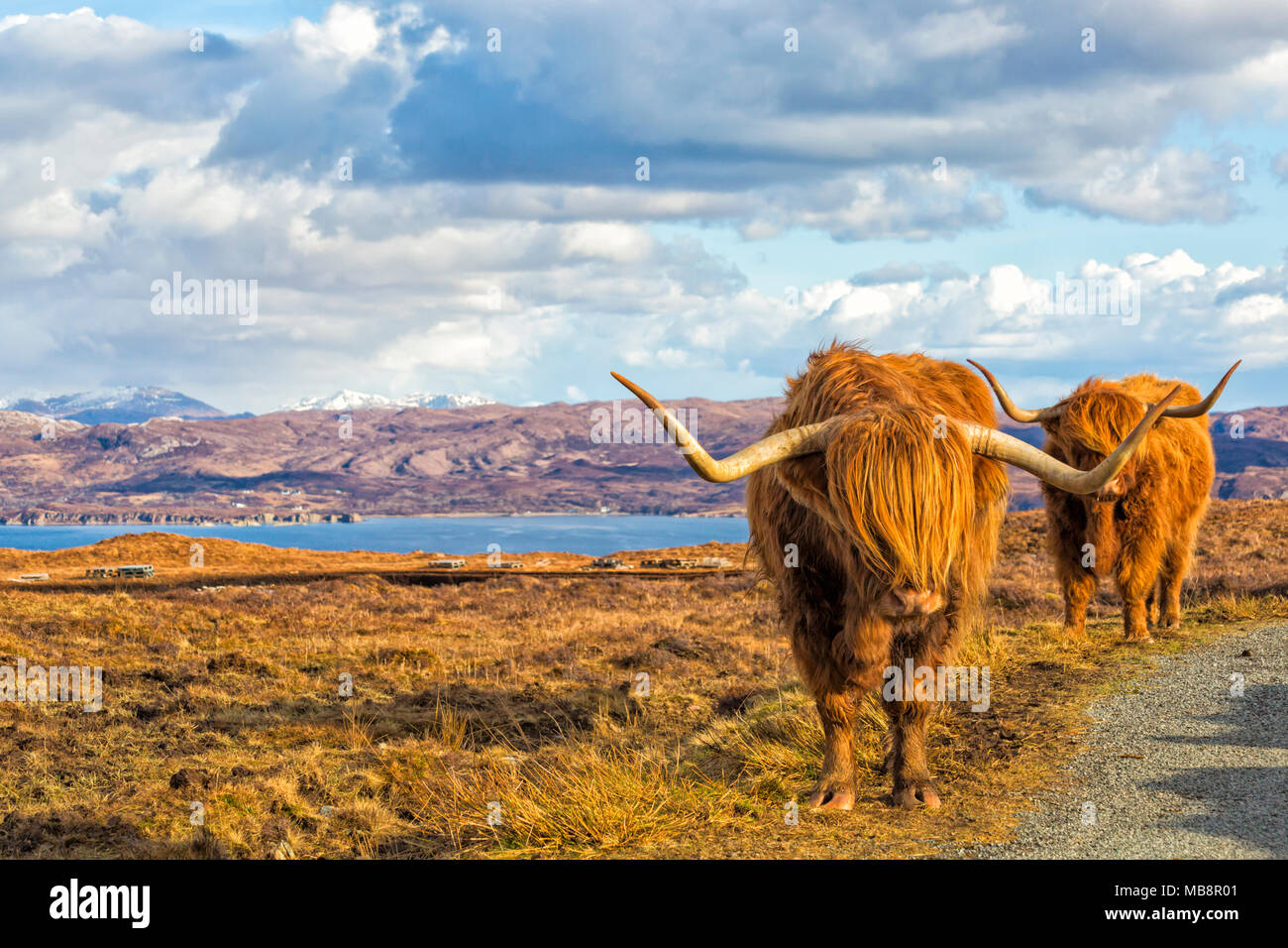 Highland vacche bovini in orizzontale sull isola di Skye vicino Elgol, Scotland, Regno Unito in Marzo Immagini Stock