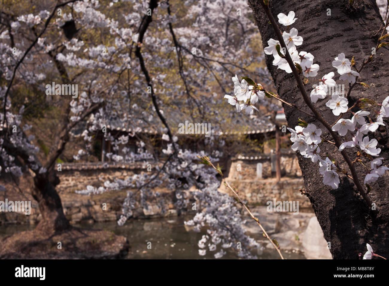 La fioritura dei ciliegi fioriscono in primavera nel giardino della