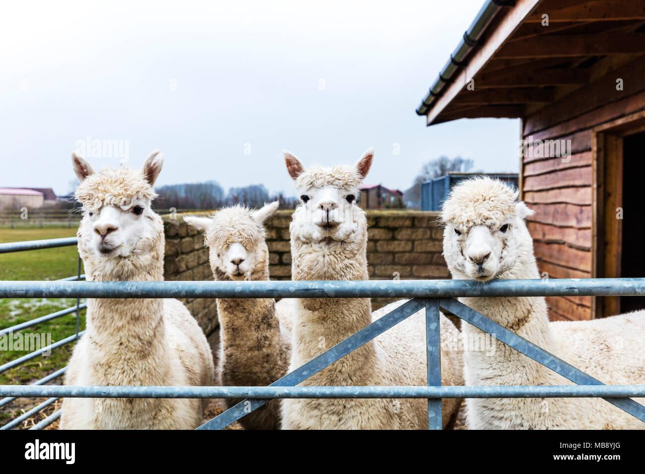 La fattoria degli alpaca, alpaca, Vicugna pacos, specie animali domestiche di South American camelid, alpaca, alpaca guardando sopra la recinzione, carino alpaca, simpatici animali Immagini Stock