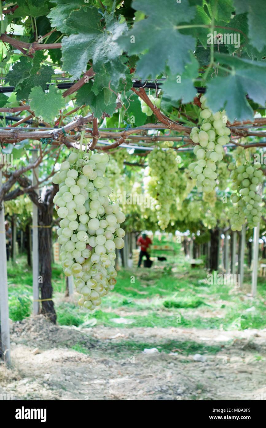 Le uve di Moscato crescente, vigneto in provincia di Trapani, Sicilia, Italia Immagini Stock