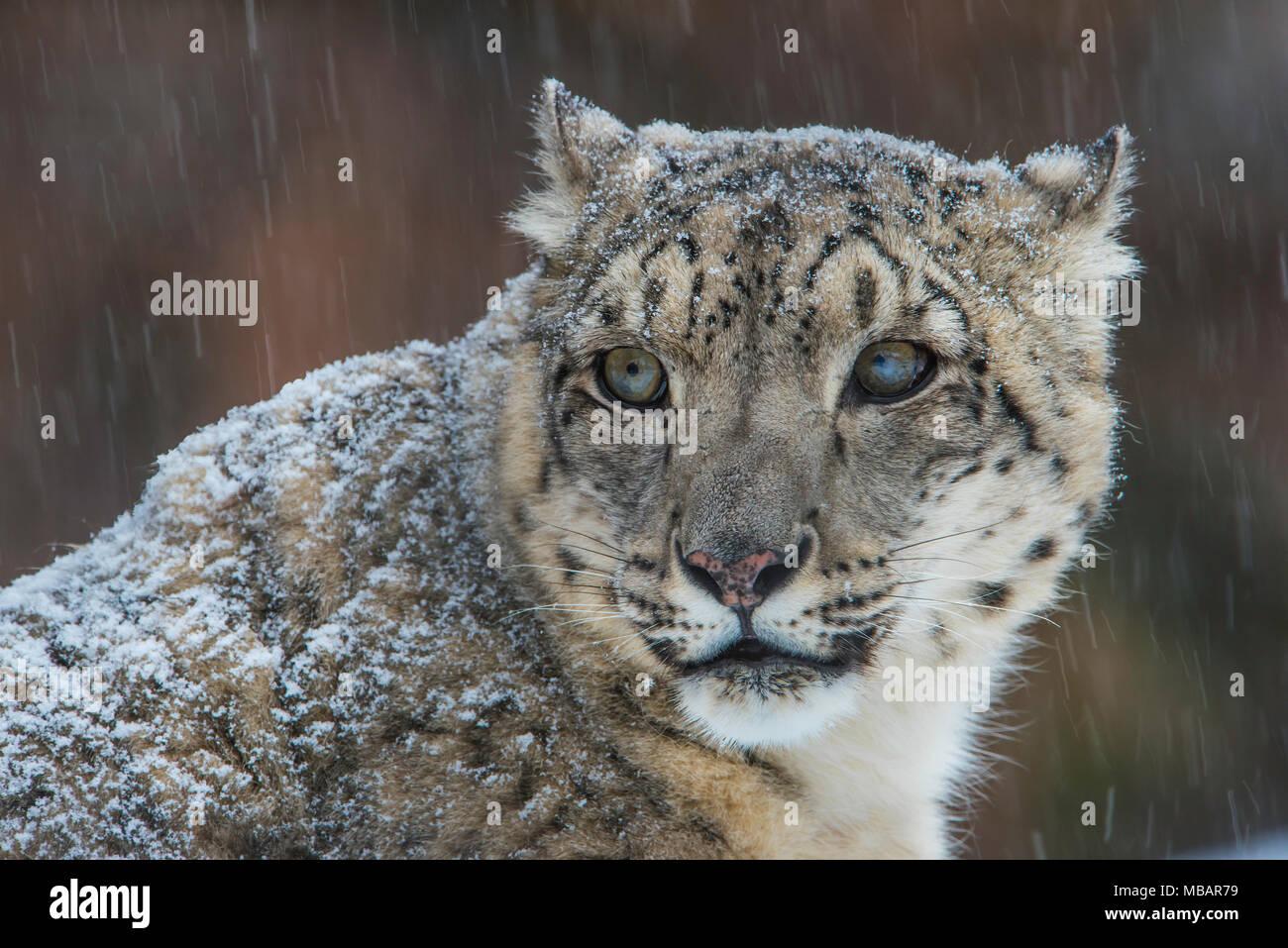Snow Leopard (Panthera uncia), inverno, Central & Asia del Sud, girato in condizioni controllate, da Bruce Montagne/Dembinsky Foto Assoc Immagini Stock