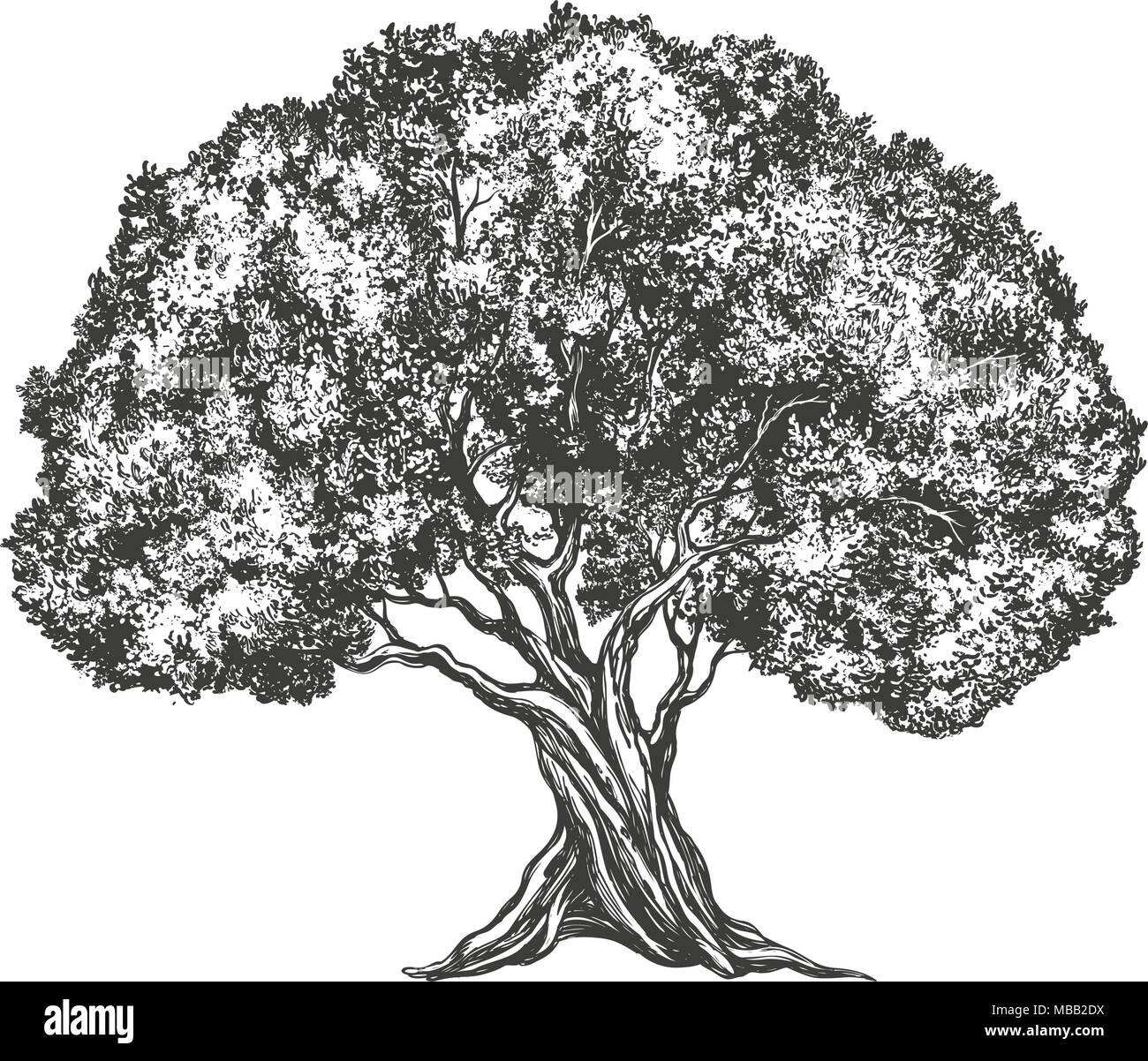 Albero di olivo disegnati a mano illustrazione vettoriale for Albero ulivo vettoriale