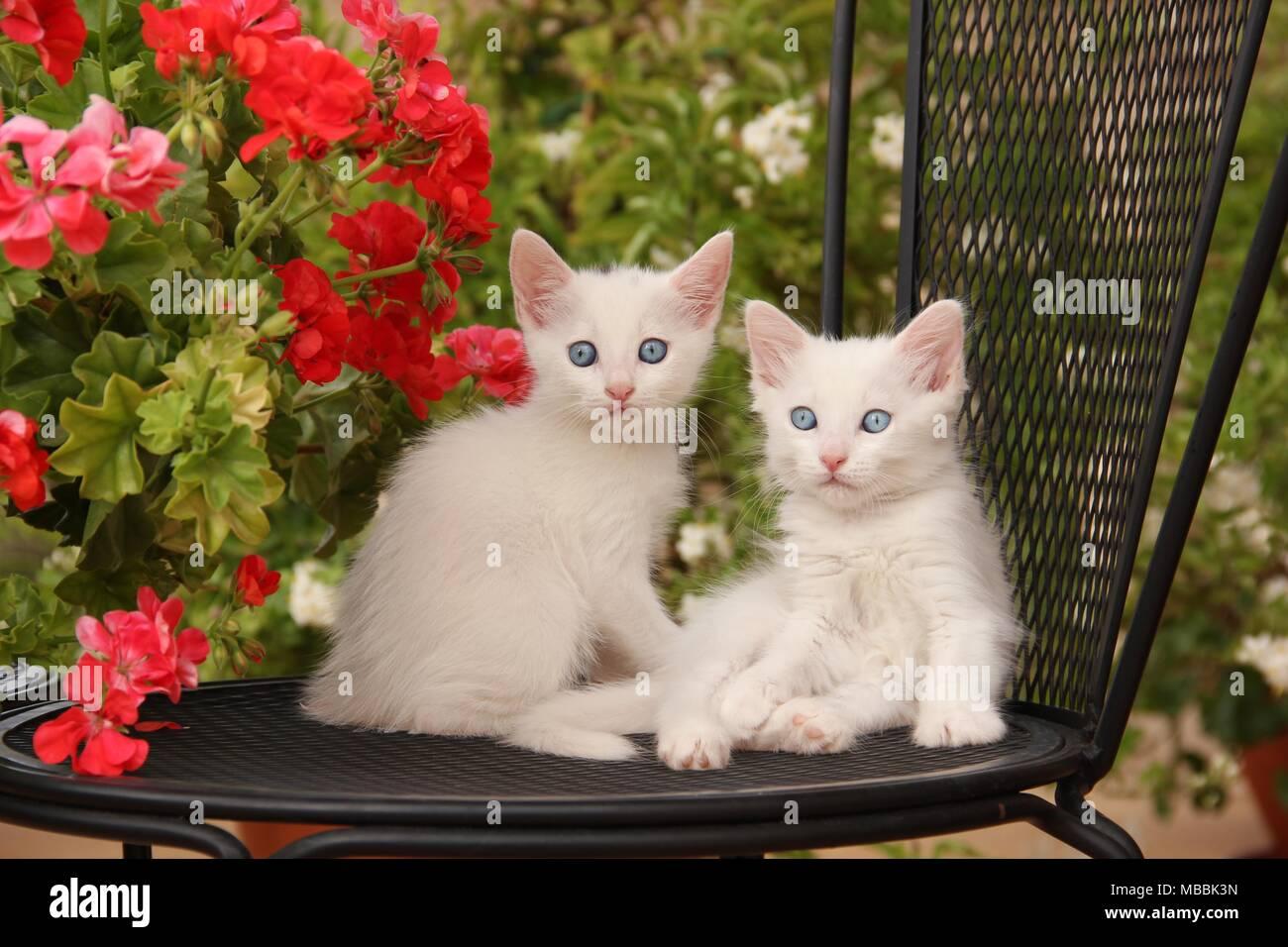 Due gattini bianco seduto su una sedia di fronte geranio Immagini Stock