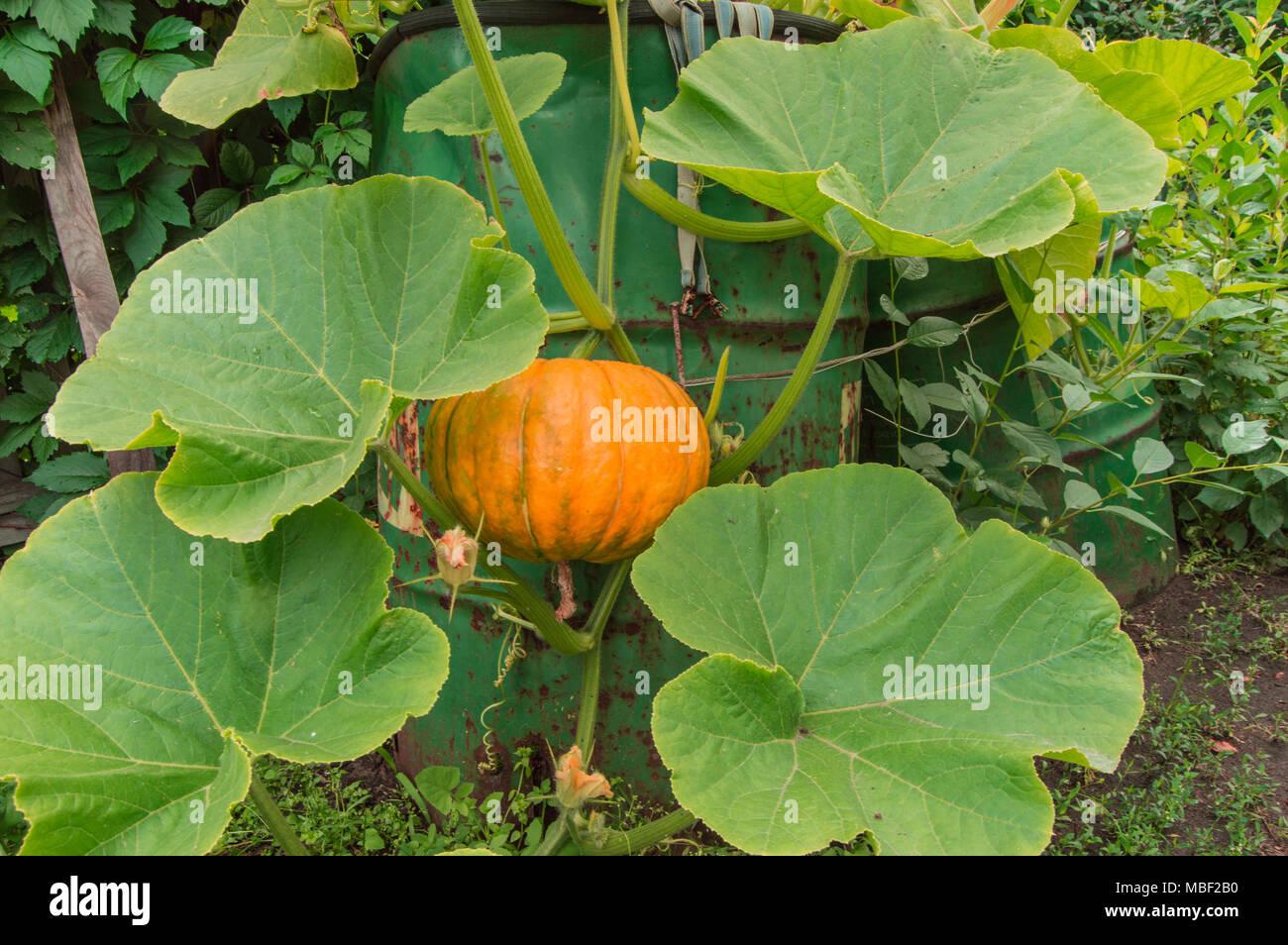 Pianta Di Zucca Di Halloween.Pianta Di Zucca Immagini Pianta Di Zucca Fotos Stock Alamy