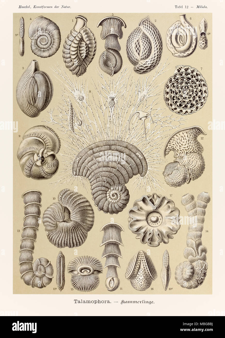"""Piastra 12 Miliola Talamophora da 'Kunstformen der Natur"""" (forme d'Arte nella Natura) illustrato da Ernst Haeckel (1834-1919). Vedere ulteriori informazioni qui di seguito. Immagini Stock"""