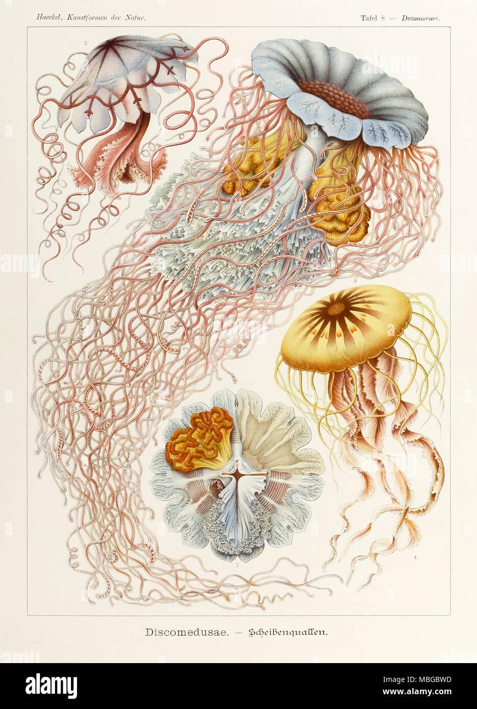 """La piastra 8 Desmonema Discomedusae da 'Kunstformen der Natur"""" (forme d'Arte nella Natura) illustrato da Ernst Haeckel (1834-1919). Vedere ulteriori informazioni qui di seguito. Immagini Stock"""