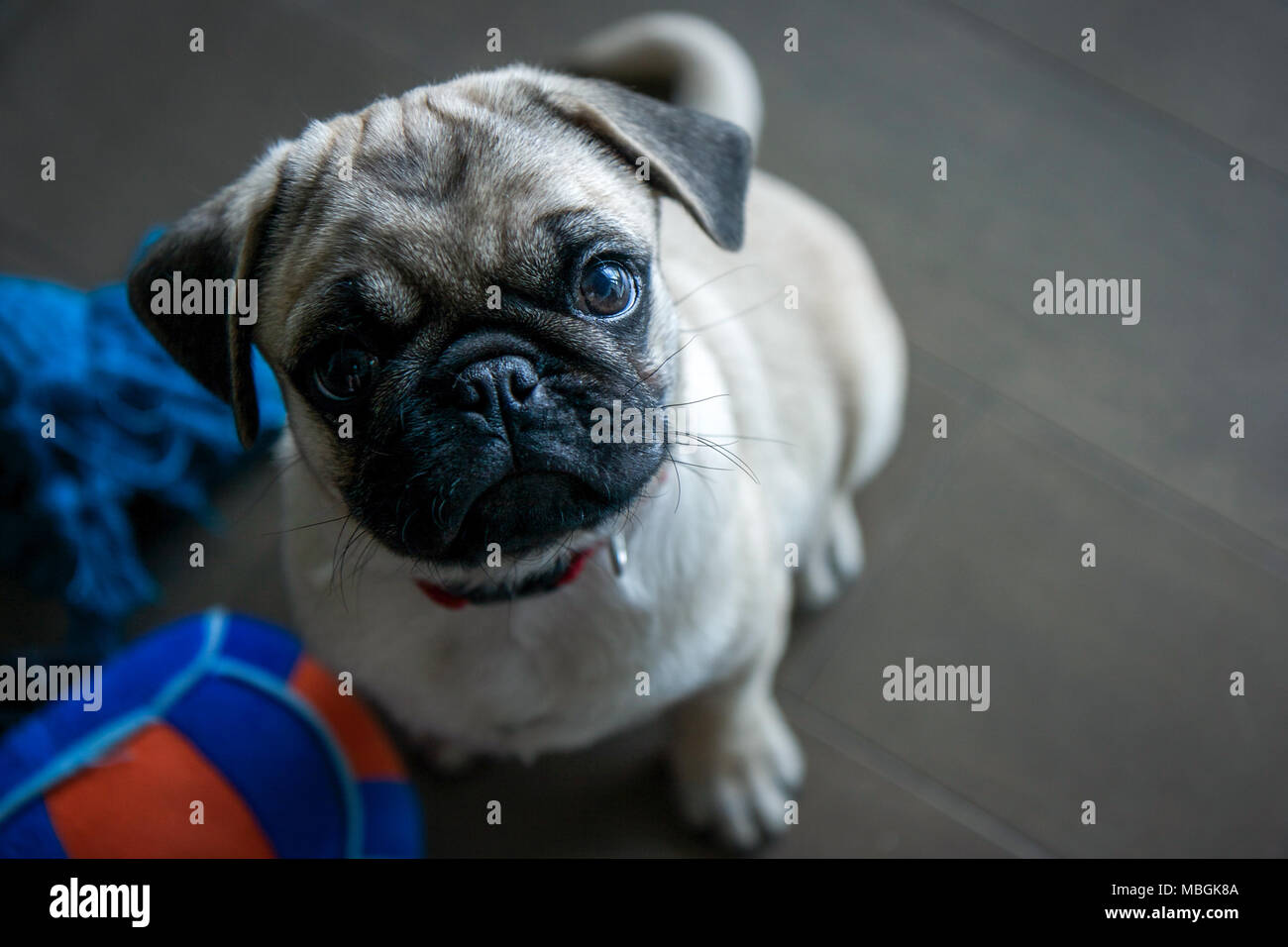 Pug cucciolo guardando verso l'alto Immagini Stock