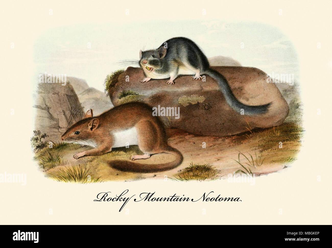 Rocky Mountain Neotoma Immagini Stock