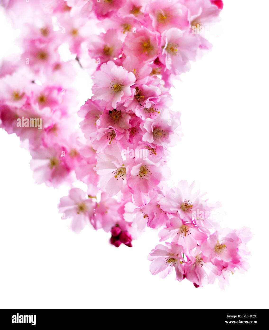 Fiore Di Ciliegio Ramo Isolati Su Sfondo Bianco Romantica Rosa