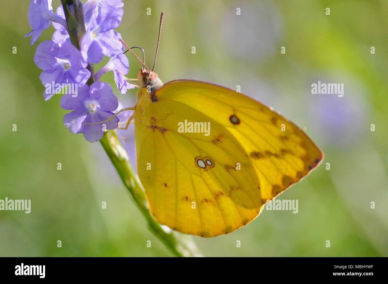 Catopsilia sp giallo a farfalla per succhiare il nettare dai fiori viola, città di Townsville Common Conservation Park, Pallarenda, QLD, Australia Immagini Stock