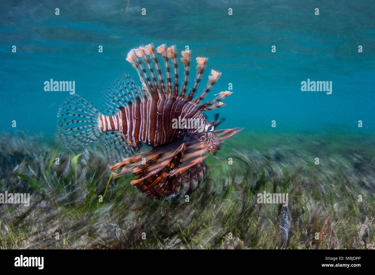 Un Leone, pterois volitans, nuota su piante fanerogame nella banda del mare. Questa regione è nel triangolo di corallo e presenta una elevata biodiversità marina. Immagini Stock