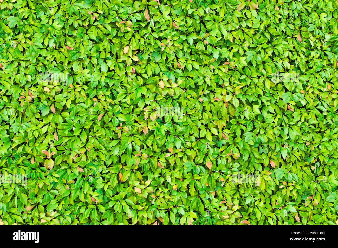 Seamless Texture Di Foglie Verde Siepe Di Sfondo Foto Immagine