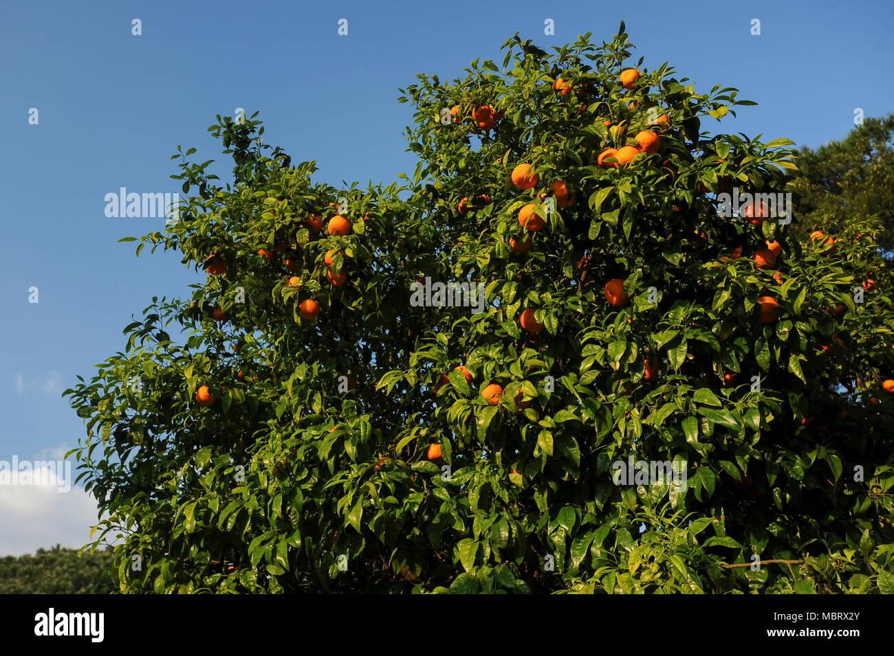 Arancio nel giardino degli aranci il giardino degli aranci sul colle aventino nel centro - Il giardino degli aranci frattamaggiore ...