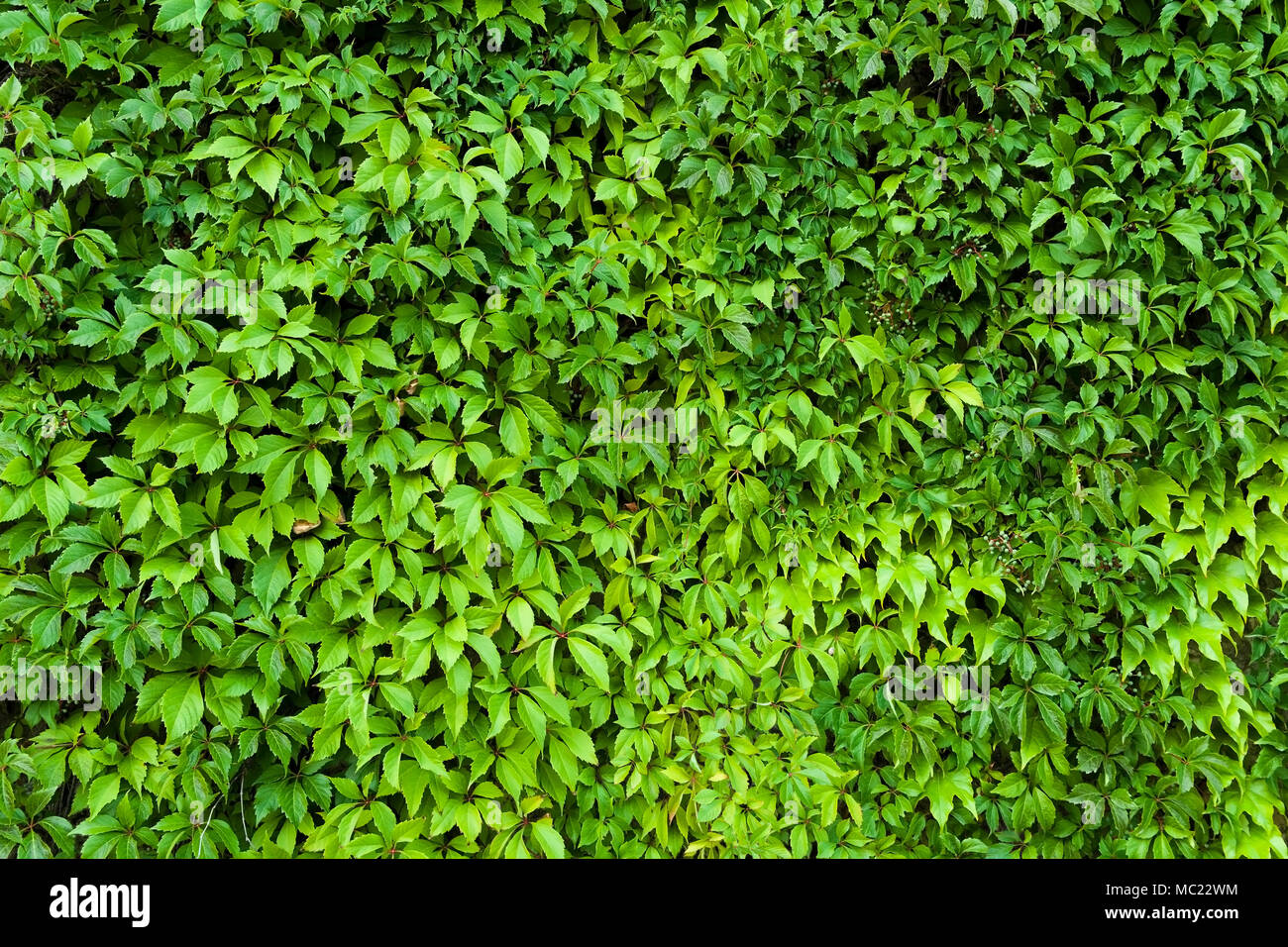 Foglie Naturali Texture Di Siepe Verde Dello Sfondo Foto Immagine