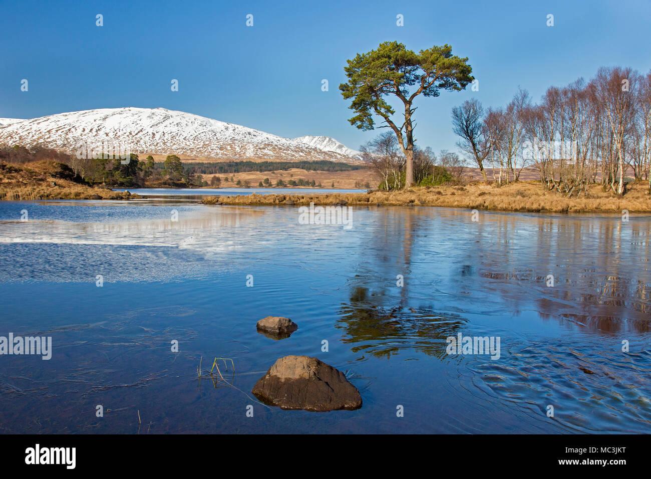 Di pino silvestre (Pinus sylvestris) lungo il Loch Tulla nelle Highlands scozzesi in inverno, Argyll and Bute, Scotland, Regno Unito Immagini Stock
