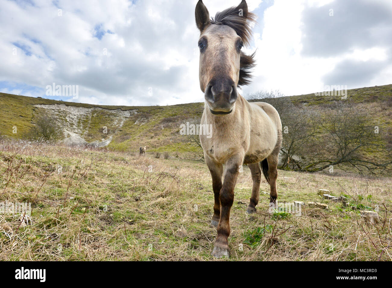 Konik pony su Malling giù, Lewes, East Sussex, utilizzato dal Sussex Wildlife Trust a pascolare sulla South Downs National Park. Immagini Stock