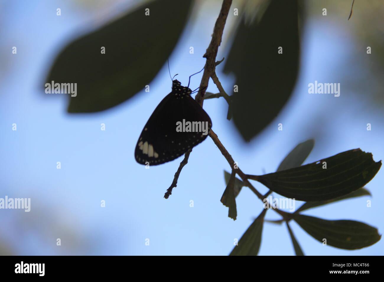 Il corvo comune Butterfly (Euploea Core) Immagini Stock