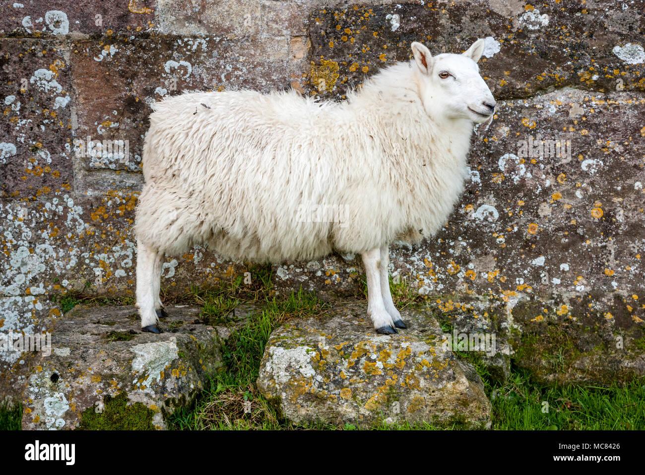 Bianco di fronte pecora pecora in posa su due blocchi di pietra da un muro di pietra a Woodspring priorato di Somerset REGNO UNITO Immagini Stock