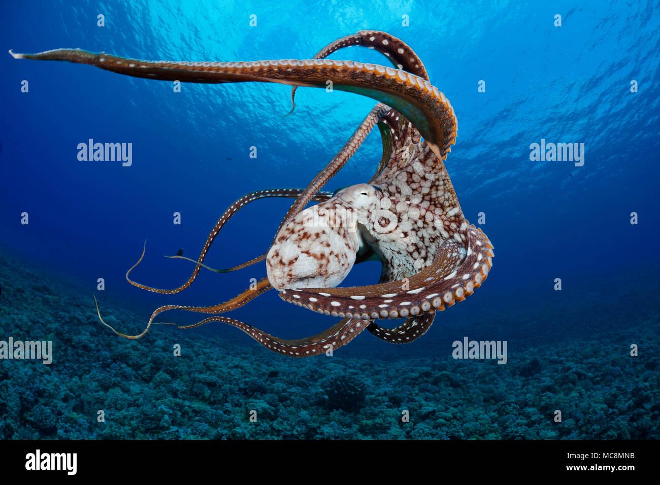 Questa vista mostra alcune delle ventose su questo otto cefalopodi armati. Giorno di polpo, Octopus cyanea, Hawaii. Immagini Stock