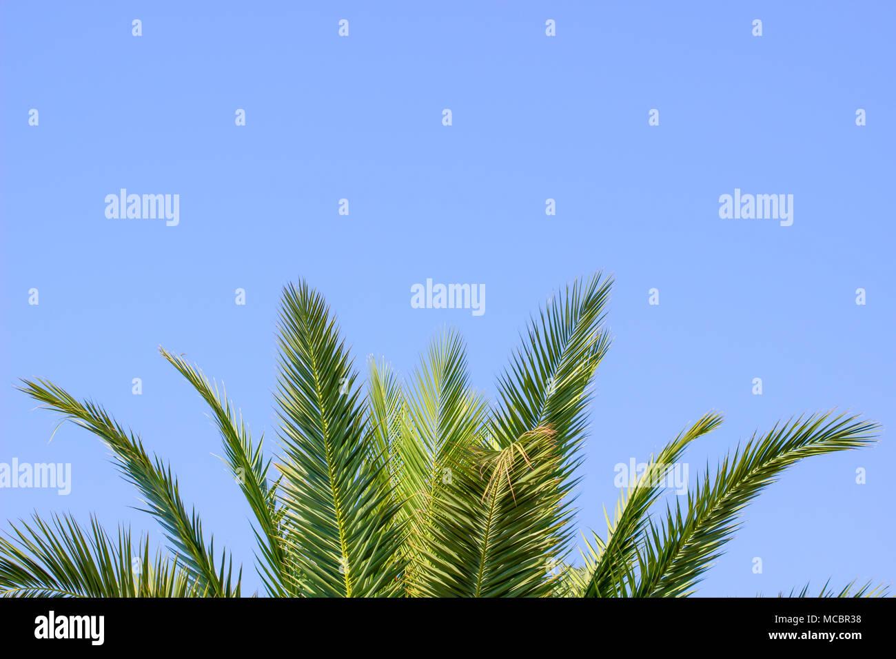 Green Palm tree in estate blu cielo con spazio copia dello sfondo. Immagini Stock