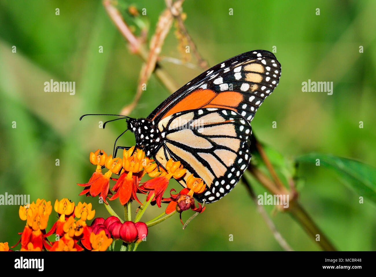 Farfalla monarca Foto Stock