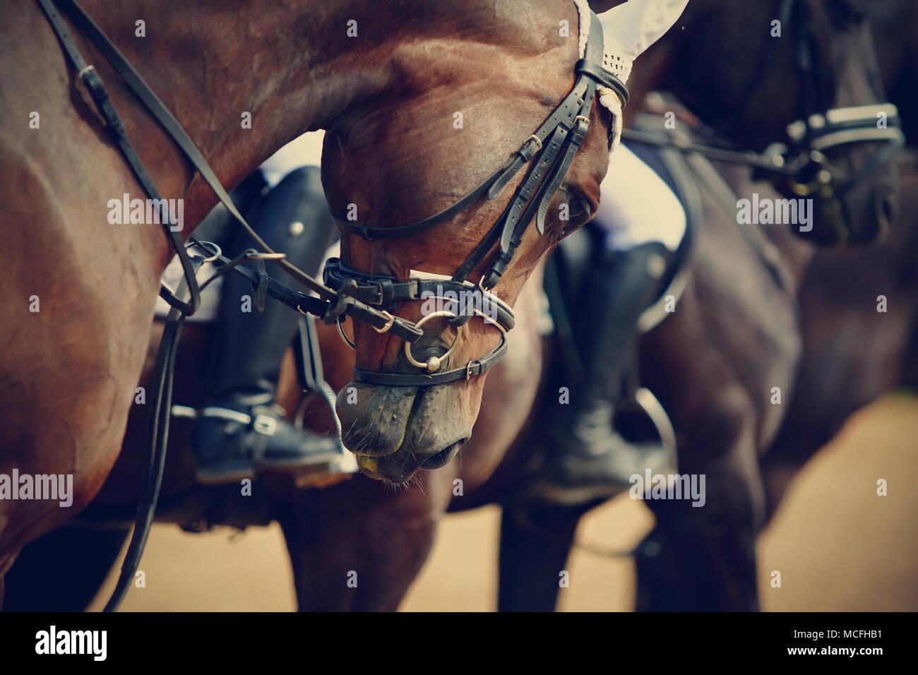 Cavalli sportivi in munizioni prima delle competizioni. Ritratto di uno sport di stallone. In sella a un cavallo. Cavallo purosangue. Immagini Stock