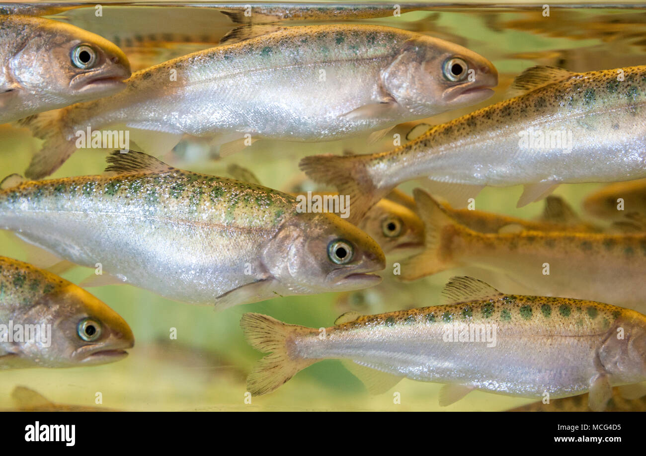 WA14302-00...WASHINGTON - Salmone Chinook smolt presso l'Aquarium di Seattle. Immagini Stock
