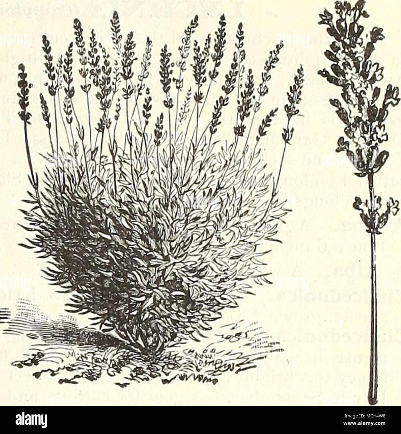 Fiori Di Stagione Settembre lavunder. hthospermum. speciosum rubrum. (groniwell