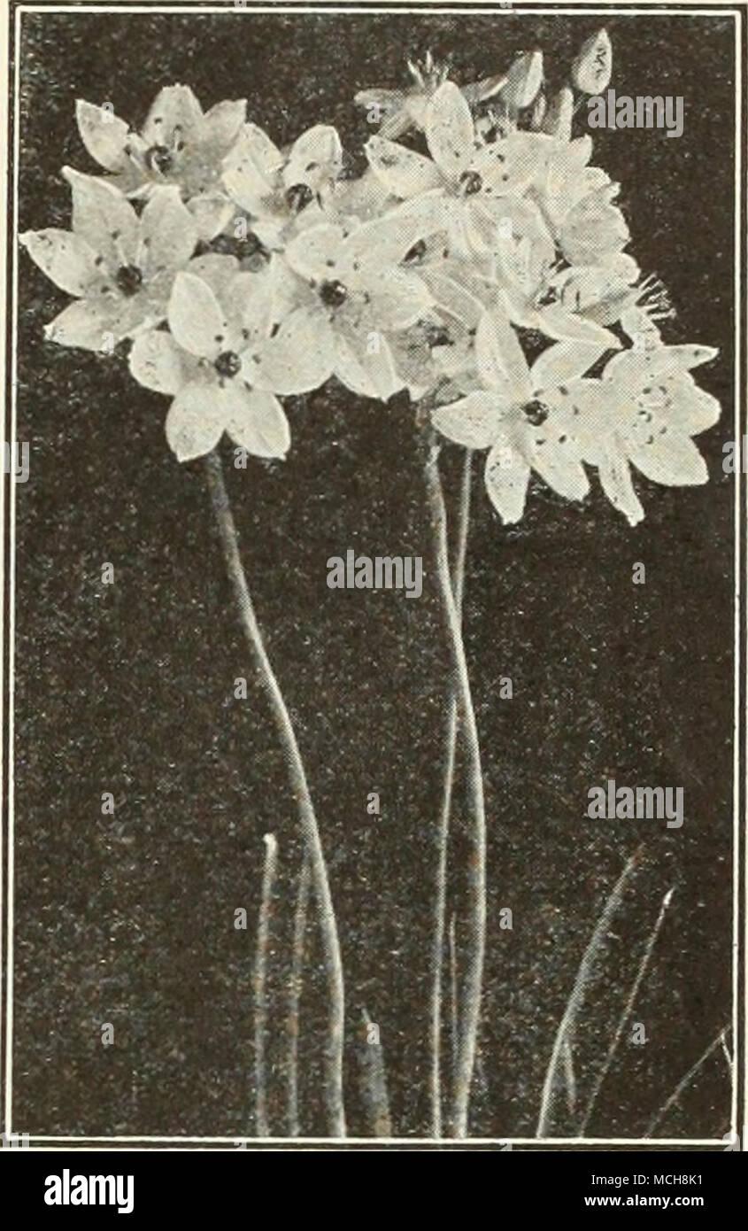Fiori Bianchi Leggeri.Arabicura Ornithogalum Ornithogalum Arabica Arabian Stella Di