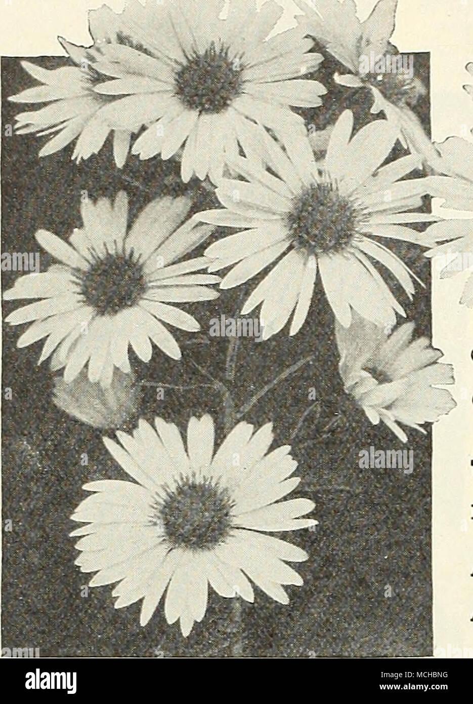 Fiori Di Stagione Settembre hardy aster, queen mary generale collezione autunno