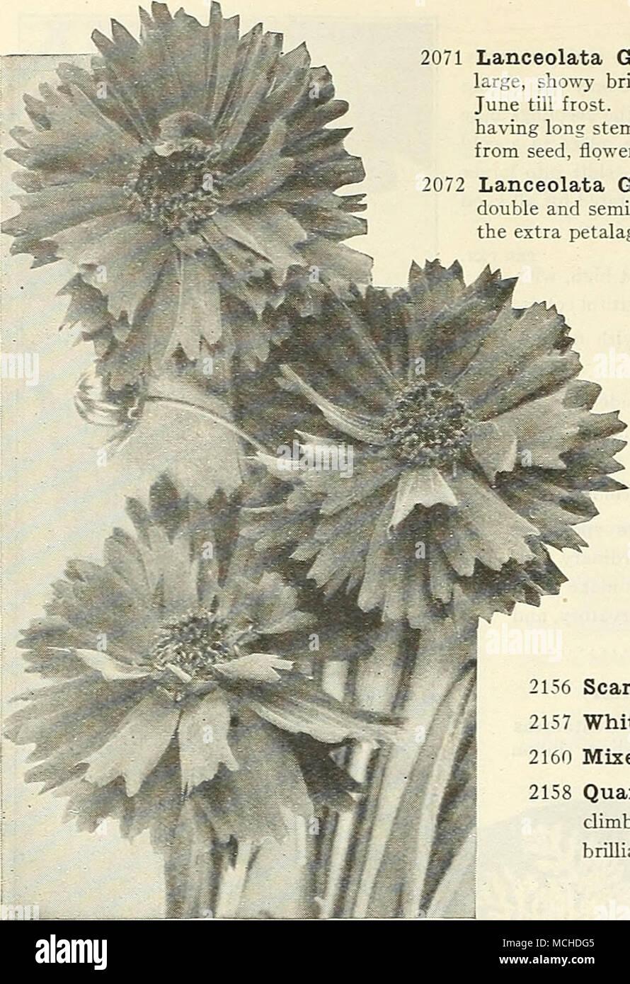 Fiori Del Mese Di Giugno per coreopsis pkt. lanceolata grandiflora. questo è uno dei
