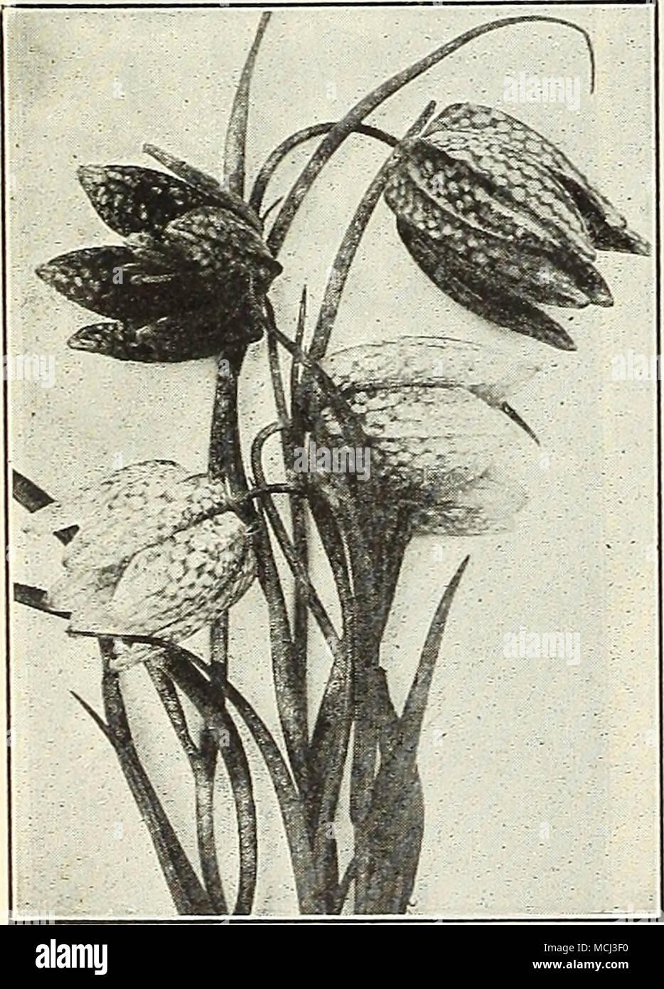 Subcordata Grandiflora Molto Grande Bianco Puro Giglio Sagomato