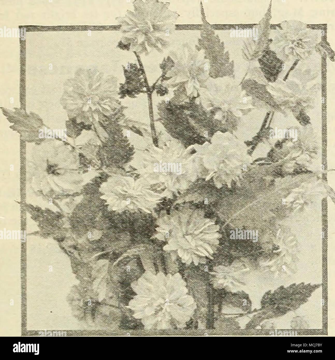 Fiori Bianchi Ottobre.Corchorus Japonica Fl Pi Corchorus O Kerria G O C Fiore M