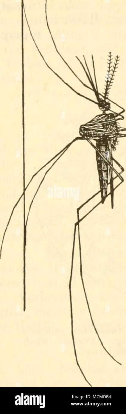 fig 89 la zanzara anofele maculi pennis meig schematisch in