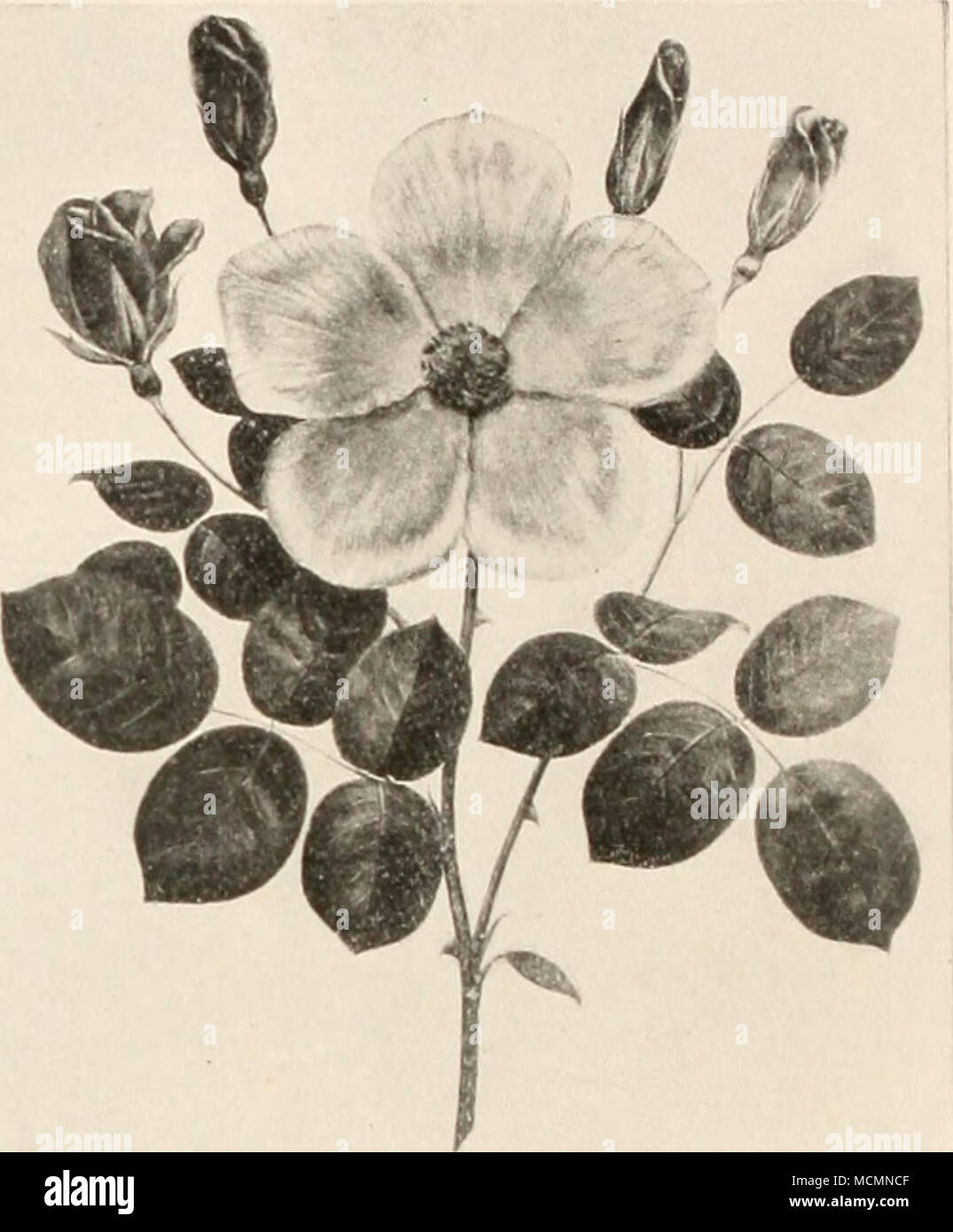 Lena i fiori sono spesso prodotte in spray da sette a nove grandi d5f2f00dbc