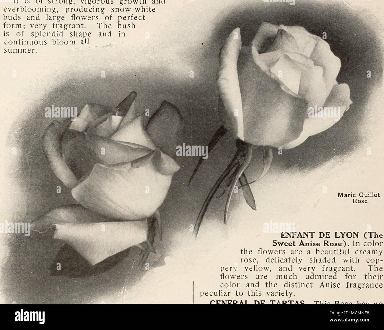 5915f7fa945011 . Marie Van Houtte Rose ^Marie Guillot la regina delle rose bianche si  consiglia come uno ...