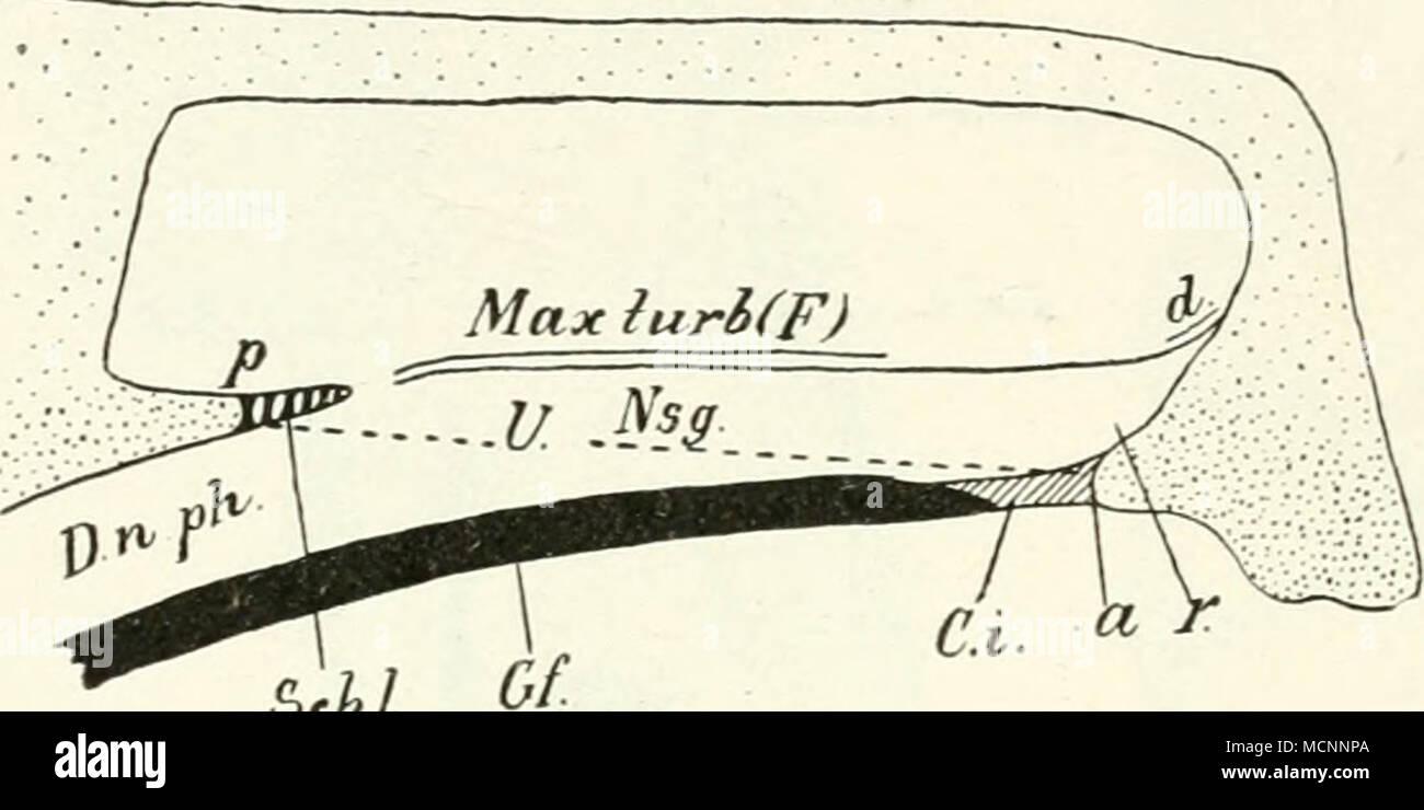 Uhl Fig. 51. Schematisierter Sagittalschnitt durch dieXasen- höhle ...