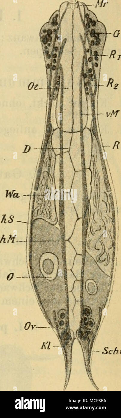 Osophagus Immagini & Osophagus Fotos Stock - Alamy