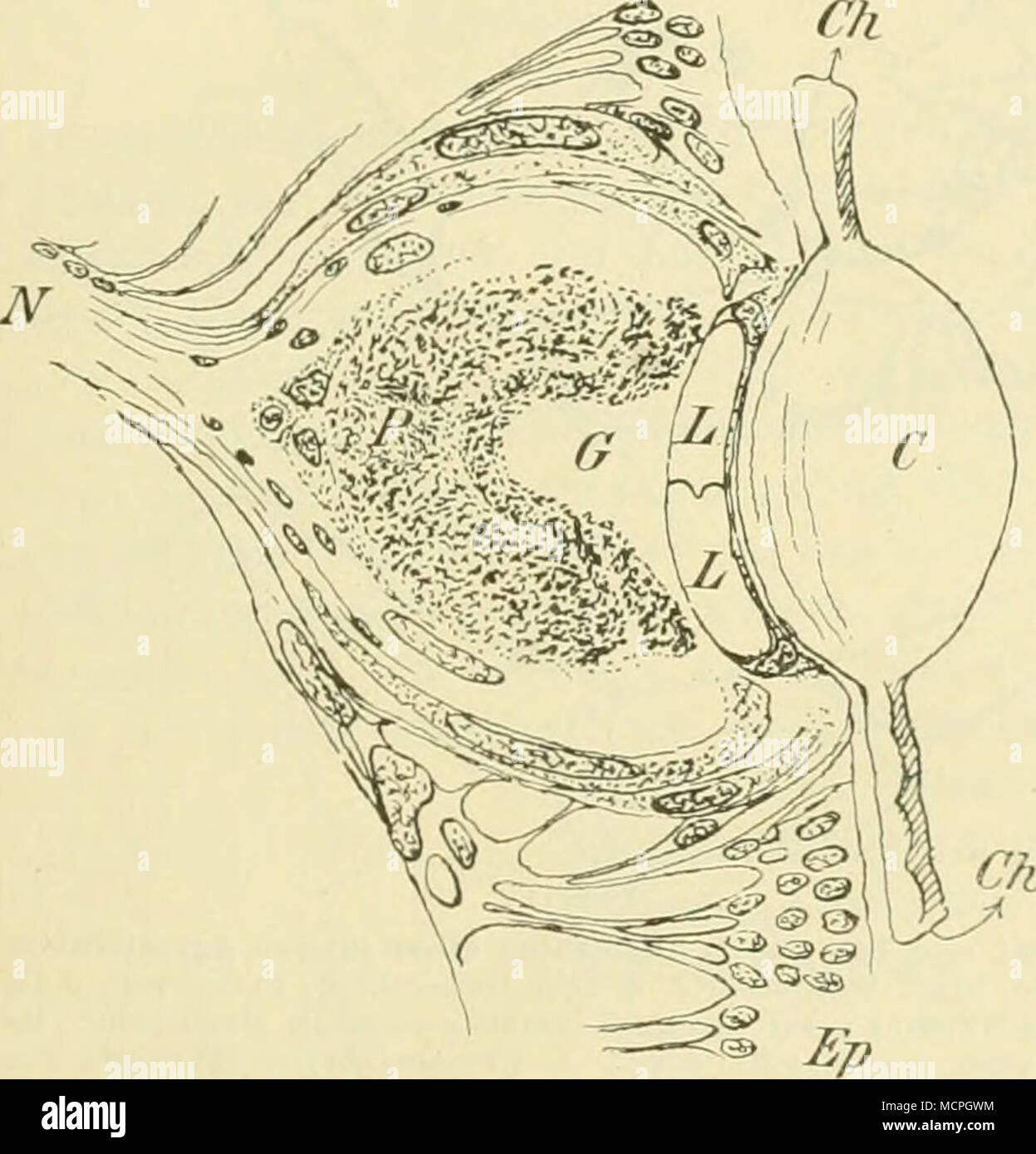 Tolle Innere Anatomie Eines Perch Bilder - Menschliche Anatomie ...