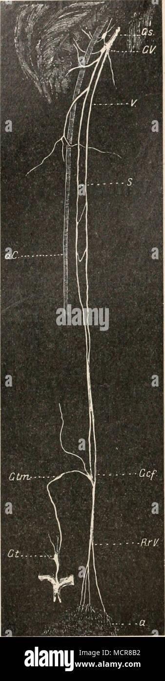 Carotis Immagini & Carotis Fotos Stock - Alamy