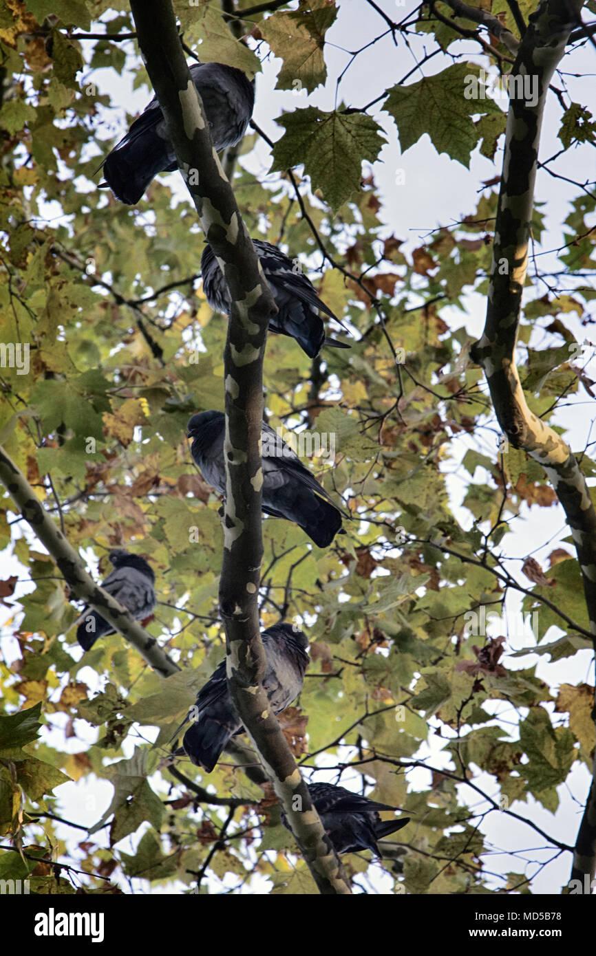 Risalente a un albero di sicomoro
