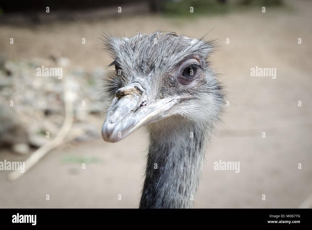 Ostrich cercando nella fotocamera Immagini Stock