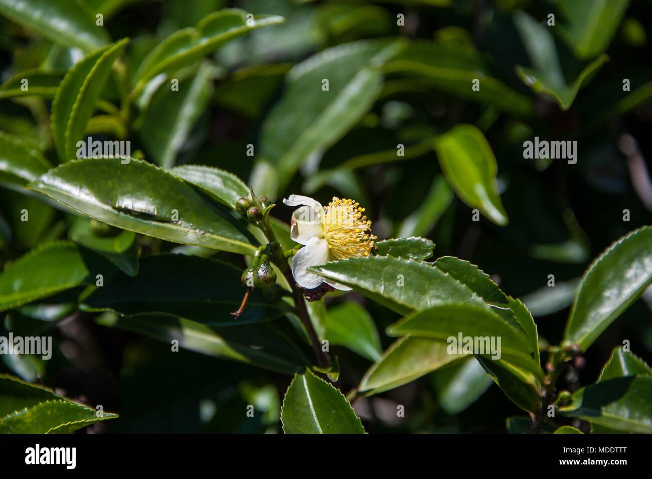 In prossimità di una fioritura di macchia di tè (Camellia sinensis). Fiore bianco con pistilli di colore giallo sul lucido, foglie di colore verde scuro Immagini Stock