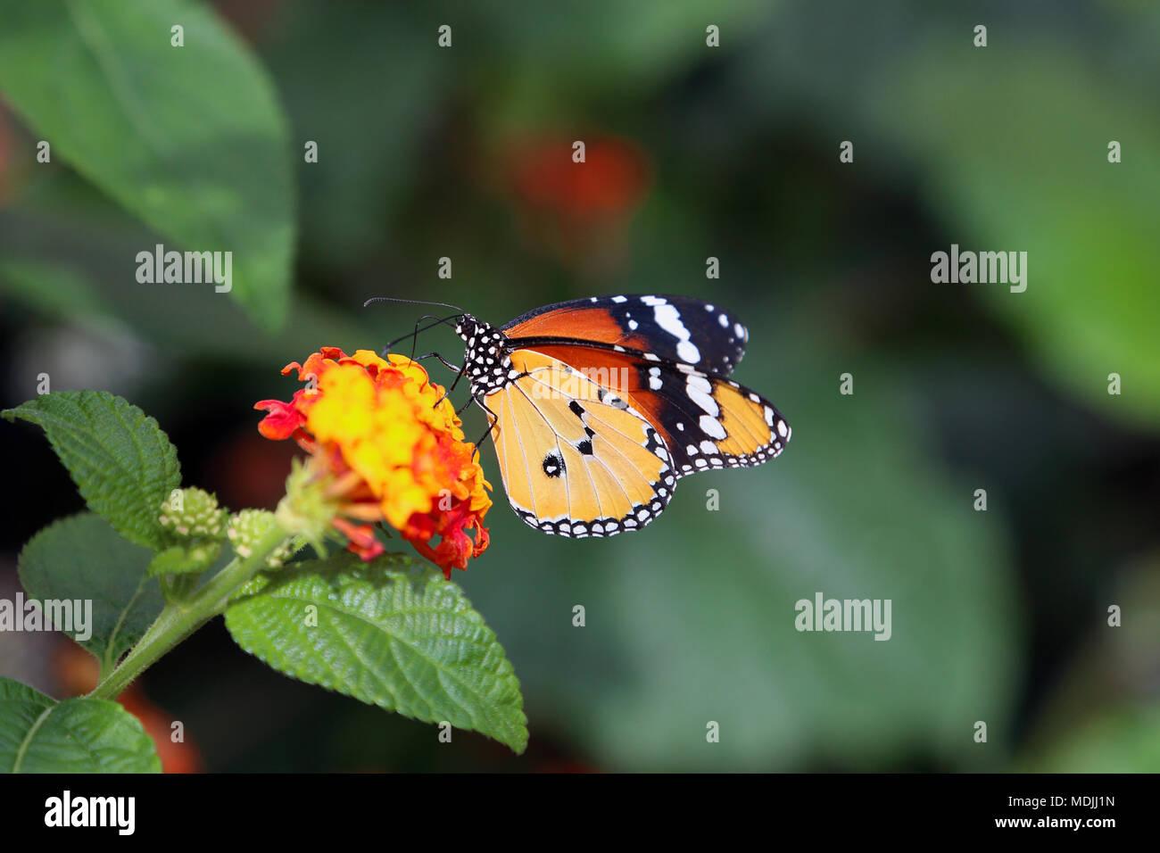 Butterfly bellissime farfalle tropicali sulla natura for Immagini sfondo natura