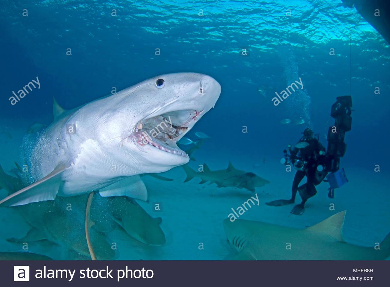 Subacqueo e Tiger Shark (Galeocerdo cuvier) con bocca aperta, Bahama banche, Bahamas Immagini Stock