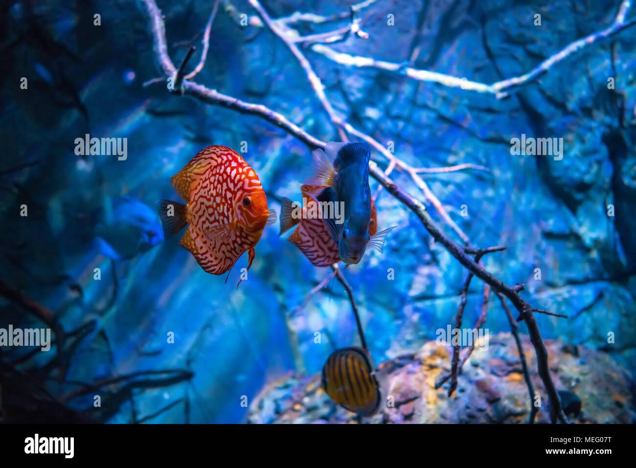 Symphysodon Discus In Un Acquario Su Uno Sfondo Blu Foto Immagine