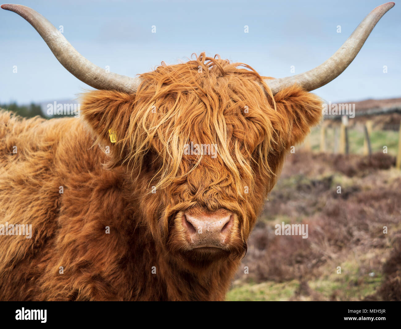 Highland Cattle Foto Stock