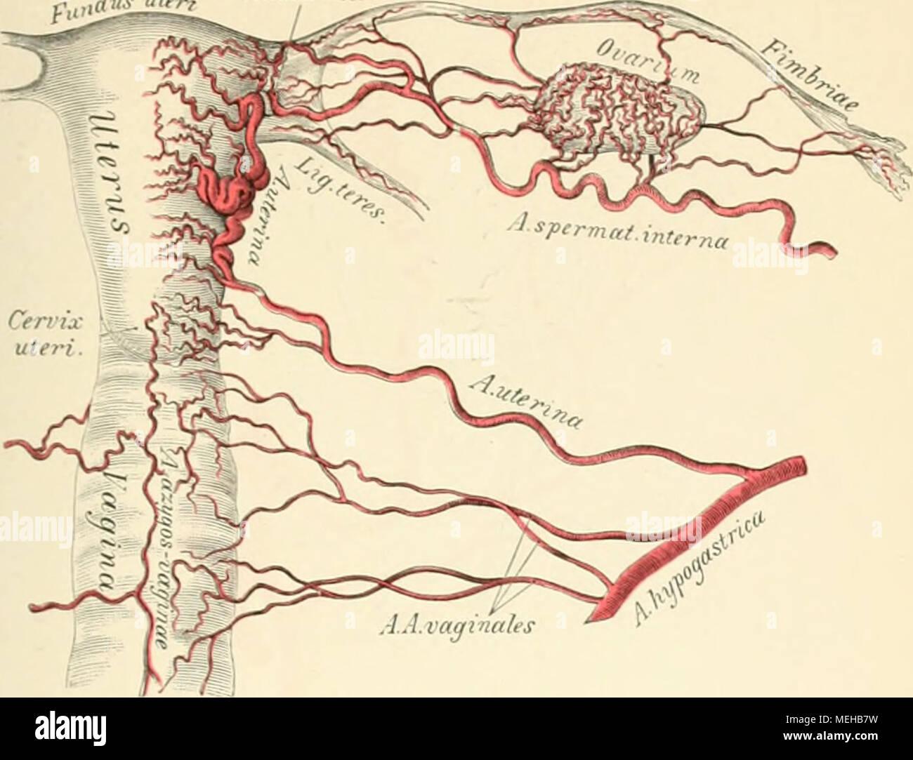 Die descrittivo topographische und anatomie des Menschen . 741. Die ...