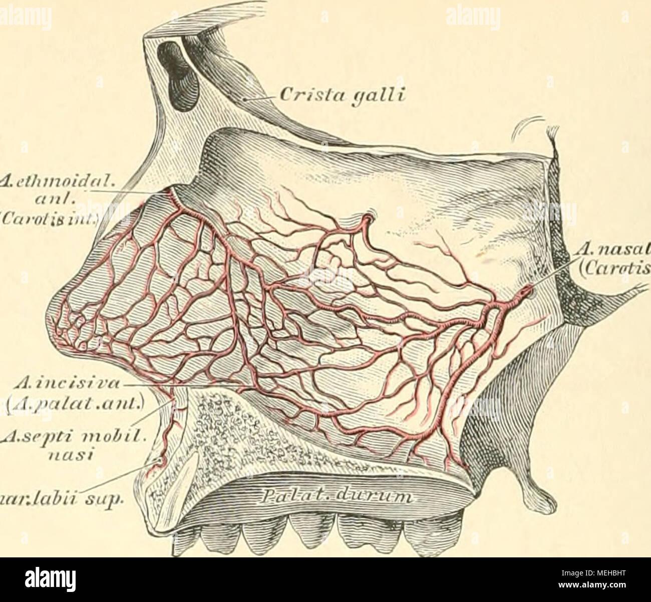 Ziemlich Aortenbogen Zweige Anatomie Fotos - Anatomie Von ...